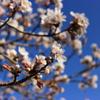 上野公園の桜(広島県 庄原市)