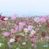 高台の秋桜畑