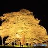 岡山県真庭市  醍醐桜  1