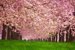 君と〝はる〟の想い出~桜色の煌めき~