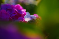 しずくBlue Hydrangea~Dreaming Girl~