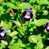 紫の花 トレニア