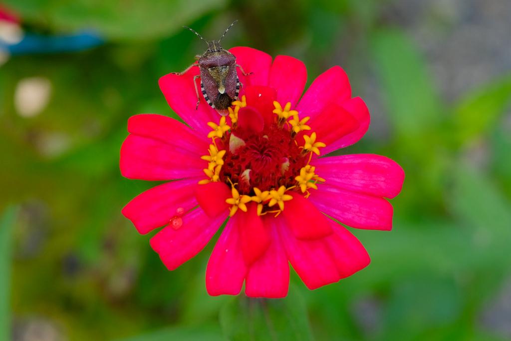 畑の赤い花とカメムシ