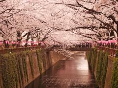 目黒川の春