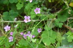 ムラサキカタバミの花。