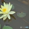 睡蓮の花。