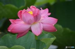 赤い蓮の花。