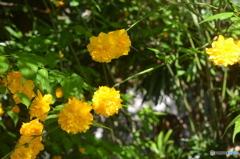 やまぶきの花。