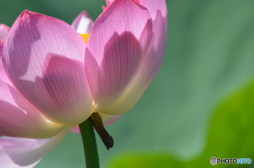 影した蓮の花。
