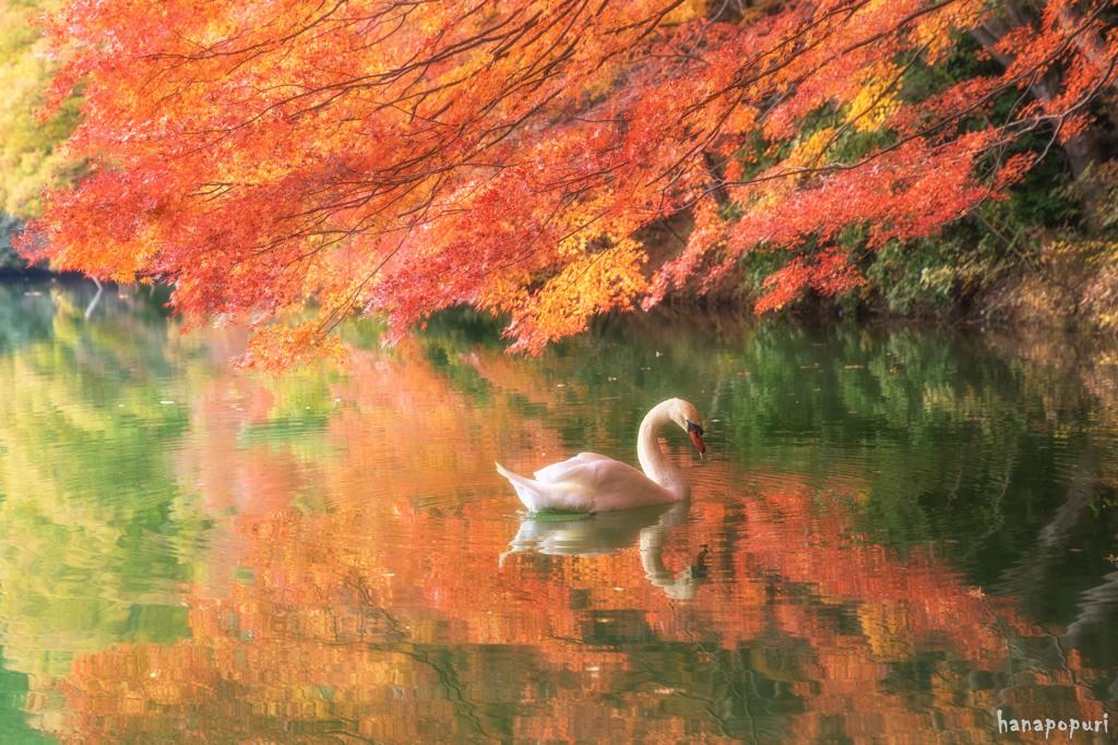 『白鳥と紅葉』
