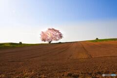 北海道を思わせる一本桜