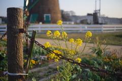 錆びついた鎖の後ろに菜の花