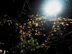 夜の紅葉?枯れ葉