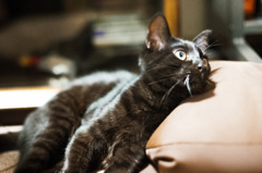 黒猫じゃないよ縞猫だよ