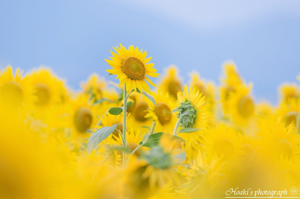 Shining sunflower Ⅴ
