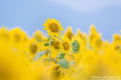 Shining sunflower Ⅴ