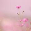 秋桜 Ⅶ ~COSMOS COLOR~