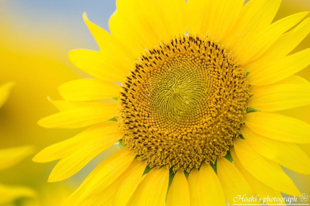Shining sunflower Ⅱ