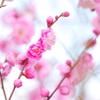梅 咲き初める Ⅱ