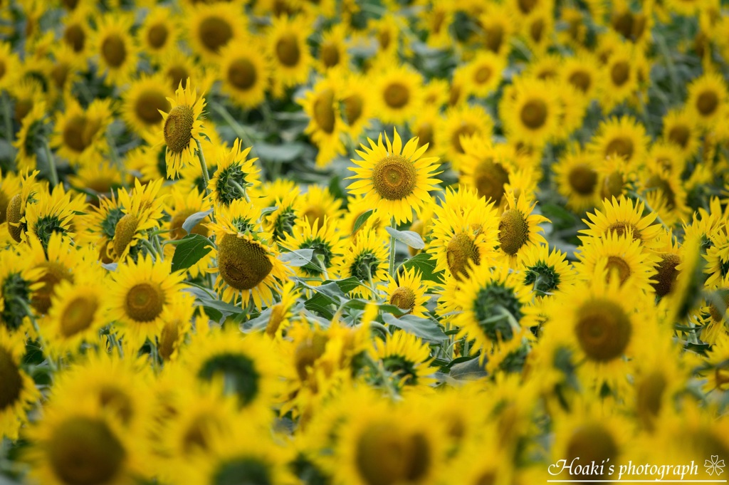 Shining sunflower Ⅳ