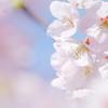 サクラサク Ⅶ  ~ 花空に浮かぶ ~