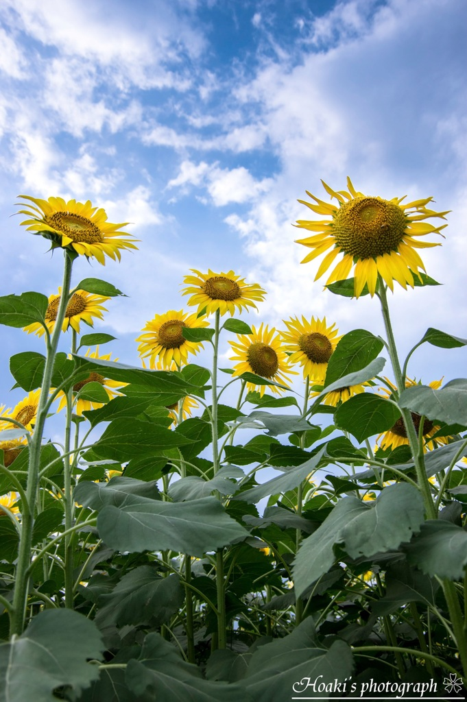 Shining sunflower Ⅲ