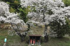 人待ち地蔵桜