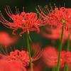 天上界の赤い花
