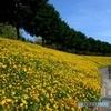 花フェスタ記念公園 コスモスまつり02