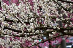 春告草 ②