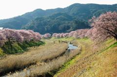 桜模様 Ⅷ