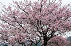 桜模様 Ⅱ