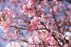 みなみの桜 (河津桜)