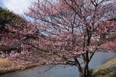 みなみの桜 (河津桜)②