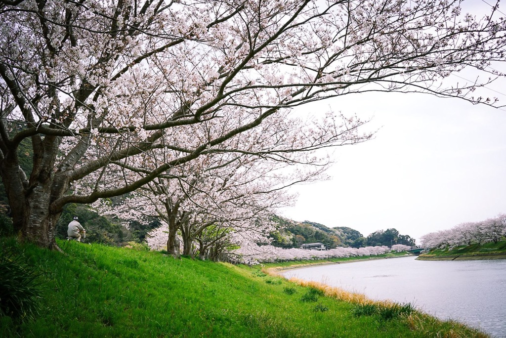 桜 みち  青野川