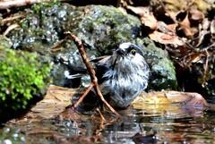 エナガ水浴び