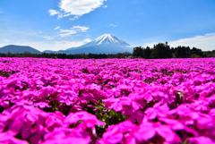芝桜から見る富士