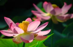 咲き誇る蓮1