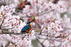 桜満開 3