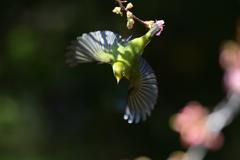 メジロの飛翔