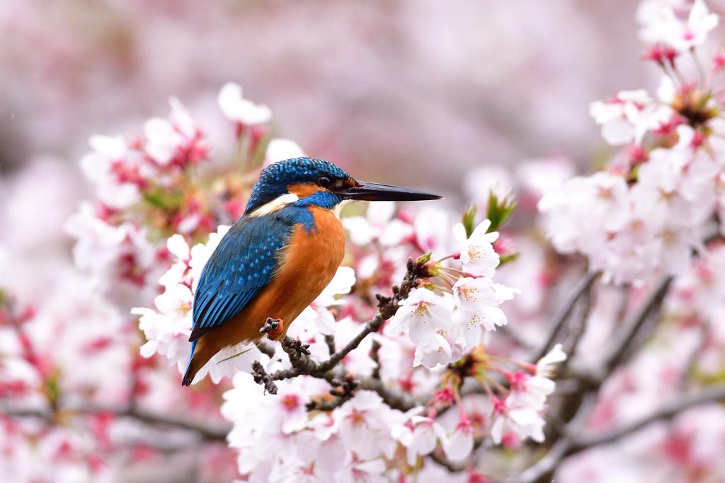 桜満開 5