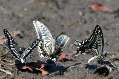 ○○蝶のサンバ