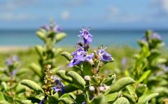神津島 多幸湾の草花