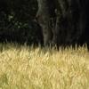 wheat4