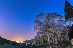 黎明と枝垂桜