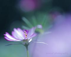 秋桜☆.。.:*・