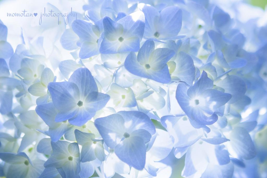 紫陽花MilkyWay☆.。.:*・