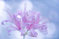 Diamond lily.+*:゚+。.☆