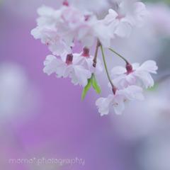 桜心☆.。.:*・