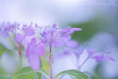 紫の君☆.。.:*・